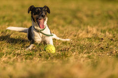 Fox terrier Royalty Free Stock Photography