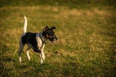 Fox terrier Royalty Free Stock Photo