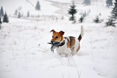 Fox Terrier dog running in in the snow in the winter Stock Photo
