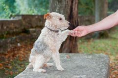 Fox terrier dog sitting and giving hand to his owner Royalty Free Stock Photos