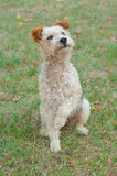 Fox terrier dog Royalty Free Stock Photos