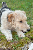 Fox terrier dog sitting in the grass Stock Images