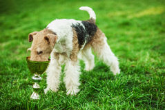 Fox-Terrier Stock Photo