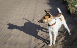 Fox-terrier een jonge hond, op de aard Stock Foto