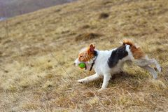 Fox terrier in the field Stock Photo