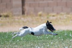 Fox terrier flying over the grass. Fox terrier doing a lure course flying over the grass with no feet touching stock photos