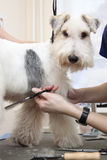 Fox terrier getting his hair cut Royalty Free Stock Images