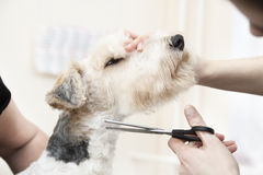 Fox terrier getting his hair cut Royalty Free Stock Photography