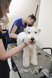 Fox terrier getting his hair cut Stock Photo