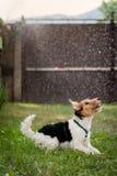 Fox-terrier het spelen in regen Royalty-vrije Stock Foto's