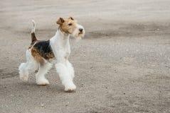 Fox terrier joven Foto de archivo