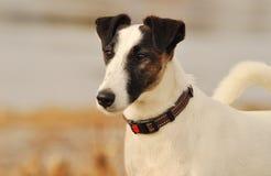 Fox Terrier liso na primavera Imagens de Stock Royalty Free