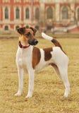Fox Terrier liso perto do palácio Imagens de Stock
