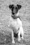 Fox Terrier liso que senta-se com Paw Raised Waiting Imagens de Stock Royalty Free