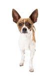Fox Terrier Mix Dog Royalty Free Stock Photo