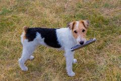 Fox terrier and music. Wire haired fox terrier in the green meadow. Dog and Harmonica, also known as a French harp or mouth organ stock photo