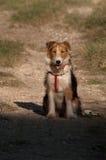 Fox terrier obediente imagen de archivo libre de regalías
