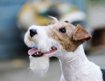 Fox terrier outdoors portrait Stock Photo