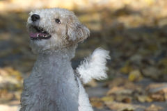 Fox terrier Stock Photography
