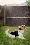 Fox Terrier playing in rain. Young Fox Terrier puppy playing in rain on green grass Royalty Free Stock Photos