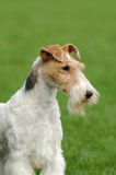 Fox terrier portrait Stock Photography
