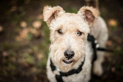 Fox terrier portrait Stock Images