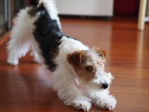 Fox terrier portrait Royalty Free Stock Photos