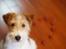 Fox terrier portrait Royalty Free Stock Image