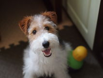Fox terrier portrait Stock Image