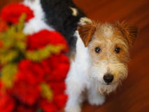 Fox terrier portrait Royalty Free Stock Images