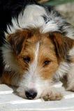 Portrait of fox terrier. Stock Images
