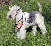 Fox terrier 2 Stock Photography