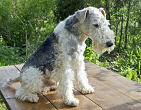Fox terrier 7 Stock Image