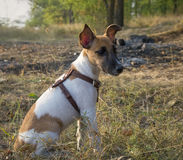 Fox Terrier portrait, young dog in the autumn forest Royalty Free Stock Photo