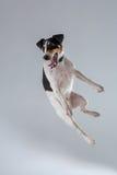 Fox terrier posing in studio on grey background. Royalty Free Stock Photos