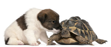 Fox terrier puppy, 1 month old, and a tortoise Stock Photo