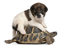 Fox terrier puppy, 1 month old, and a tortoise Stock Photos