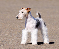 Fox terrier puppy Royalty Free Stock Image