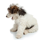 Fox Terrier puppy Royalty Free Stock Photography