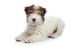Fox Terrier puppy Stock Images