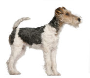 Fox Terrier puppy, 4 months old Royalty Free Stock Photos