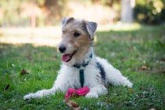Fox Terrier que joga na grama verde com um brinquedo Fotos de Stock Royalty Free