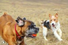 Fox terrier que juega con el boxeador Foto de archivo libre de regalías
