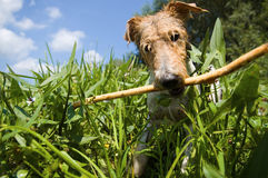 Fox terrier on the riverside. Royalty Free Stock Image