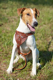 Fox Terrier (Smooth) Stock Image