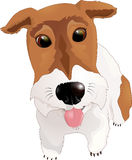 Fox Terrier sticking his tongue out Stock Image