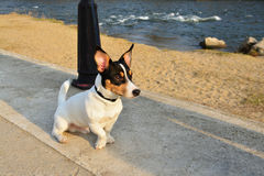 Fox terrier toy dog. Toy fox terrier dog sitting on the promenade near the river at sunset royalty free stock photo