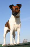 Fox terrier upright Royalty Free Stock Photo