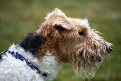 Fox Terrier wire-haired. Fox Terrier dog profile in close up Stock Photos