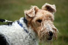 Fox Terrier wire-haired. Fox Terrier dog  in close up Royalty Free Stock Photography